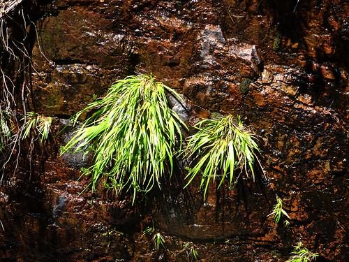 Plante endémique exceptionnelle (Narthecium reverchonii) en RD de la cascade