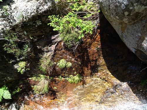 Plante endémique exceptionnelle (Narthecium reverchonii)