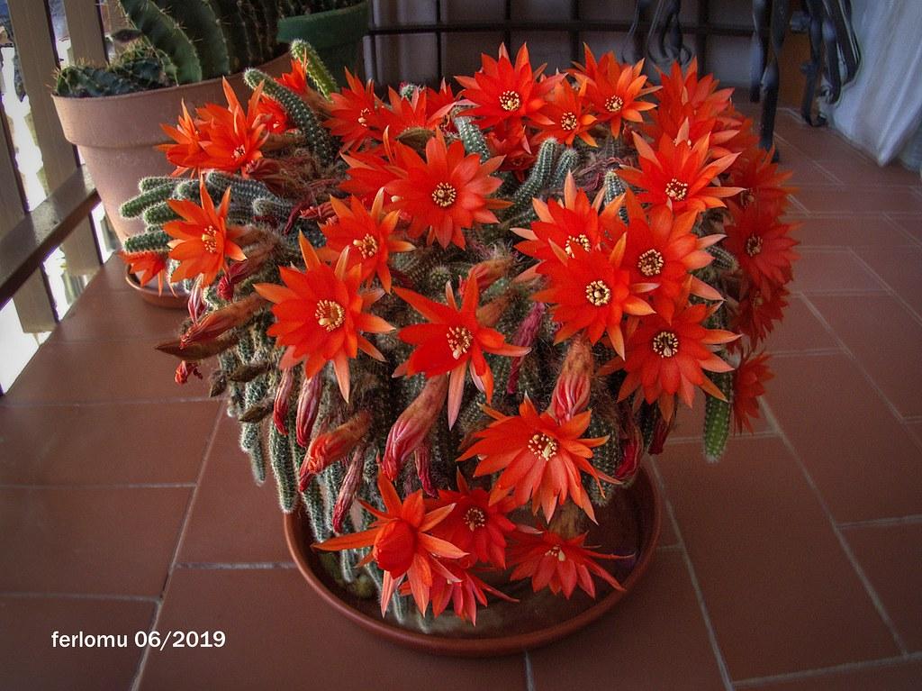 Cactus rojo 2019-001