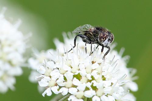 hoverfly eristalinussepulchralis burtonmerewetlands