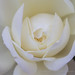 White Rose (II), 10.4.17