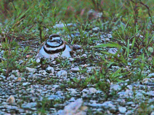 Killdeer incubating before sunrise 20190616