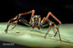 Wide-jawed jumping spider (Parabathippus sp.) - DSC_5604