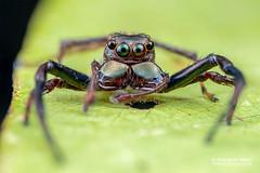 Wide-jawed jumping spider (Parabathippus sp.) - DSC_5562