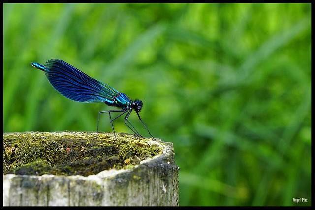 Blauflügler Libelle