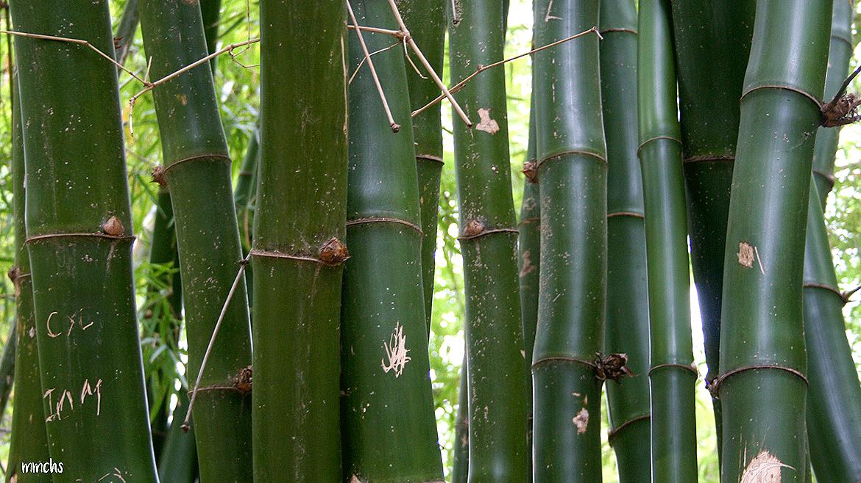 jardín botánico Valencia bambúes
