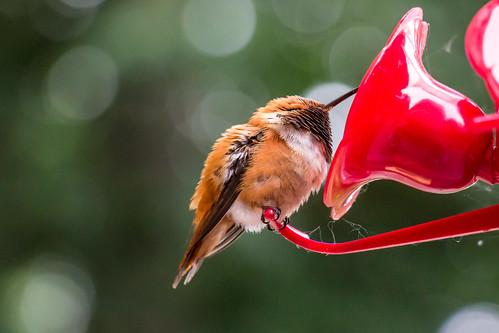 rufoushummingbird bird torpor oregon nature rainieroregon outdoors hummingbird birdwatcher