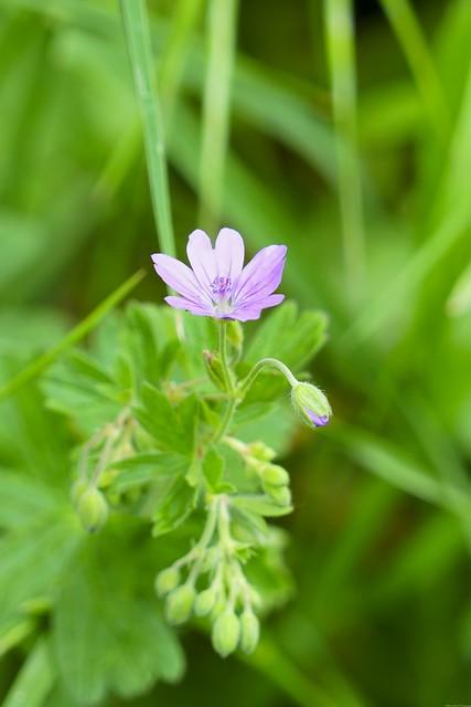 A tiny wild lilac flower