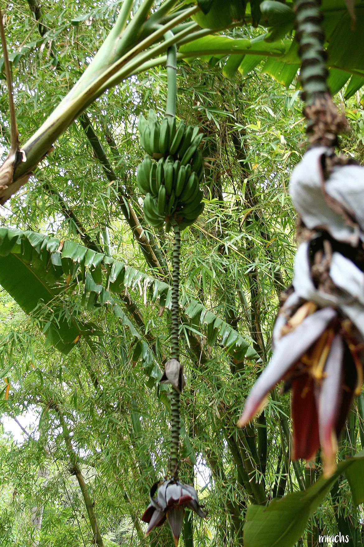 bananas en el jardín botánico Valencia