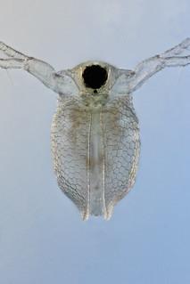 Ceriodaphnia