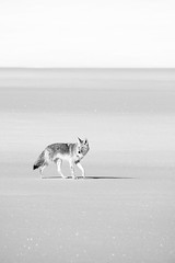 Coyote, Grand Teton National Park. March, 2019.