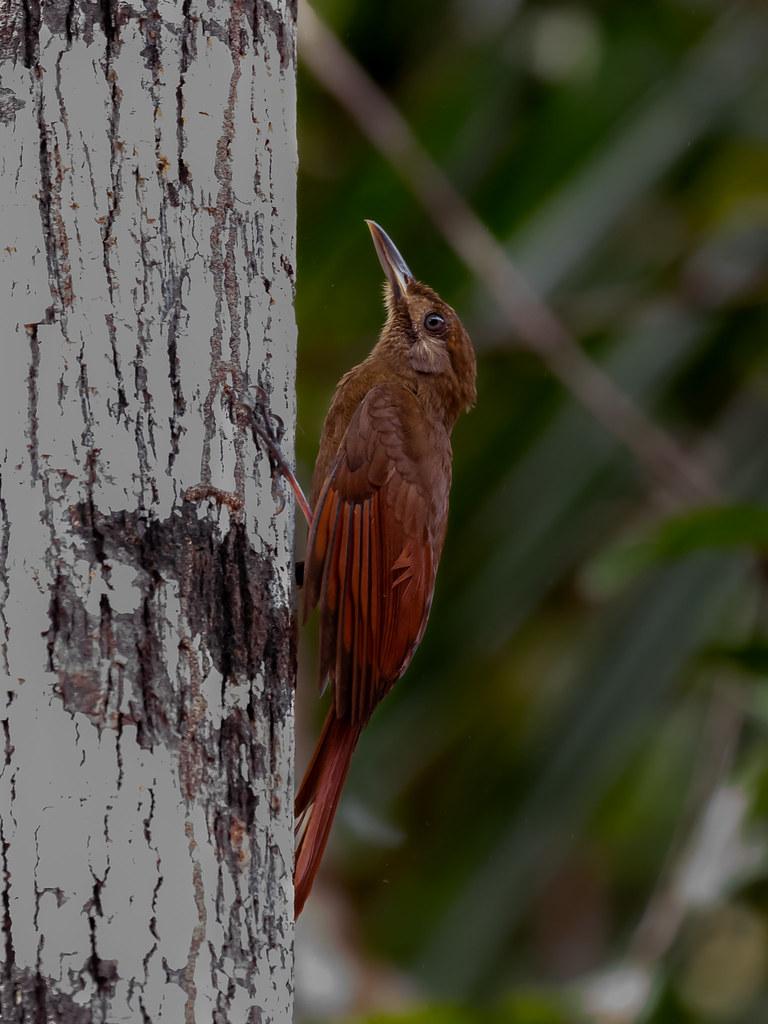 Plain-brown woodcreeper/Arapaçu-pardo/Trepador pardo (Dendrocincla fuliginosa)