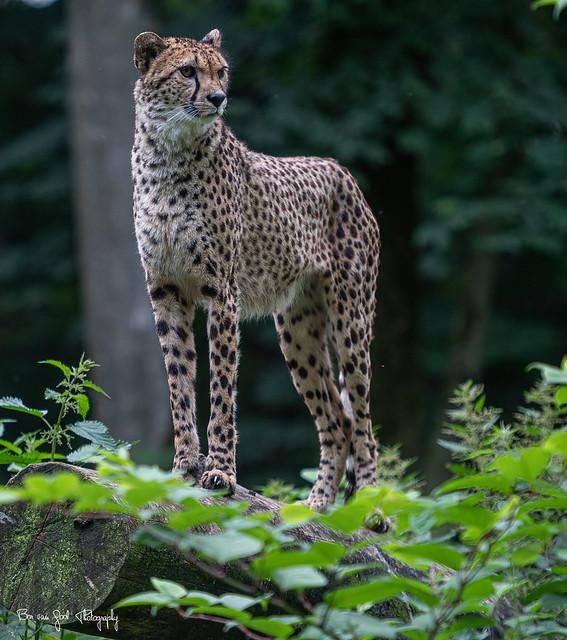 Cheetah16