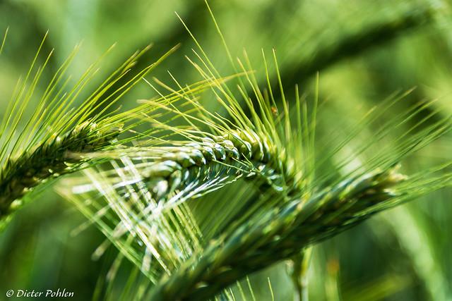 Im Weizenfeld