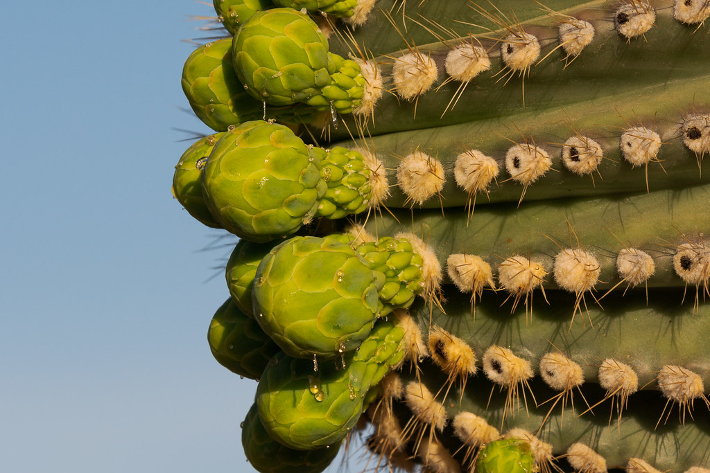 Sap drips from flower buds at the end of a horizontal saguaro arm on the Jane Rau Trail in McDowell Sonoran Preserve in Scottsdale, Arizona in April 2018