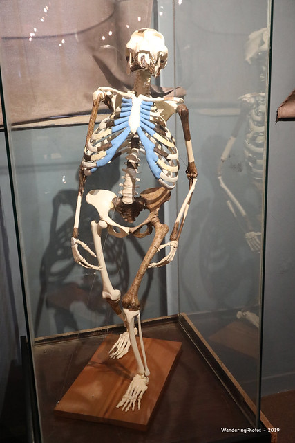 Lucy Skeleton - Hominin species of Australopithecus afarensis - The National Museum of Ethiopia - Addis Ababa Ethiopia