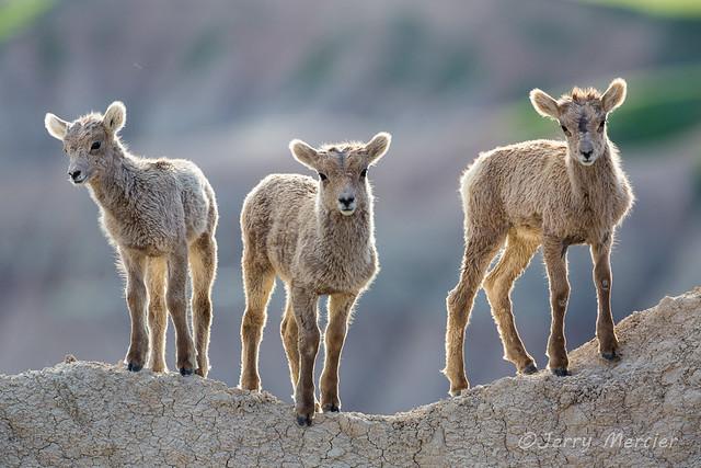 _VM_1891 - Bighorn lambs.