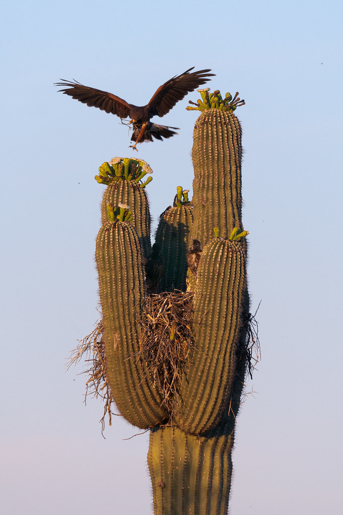 An adult Harris's hawk prepares to land at its nest in a saguaro, one leg outstretched to find purchase on a saguaro blossom while the other clutches twigs to spruce up the nest, as two nestlings watch near the Chuckwagon Trail in McDowell Sonoran Preserve in Scottsdale, Arizona in June 2019