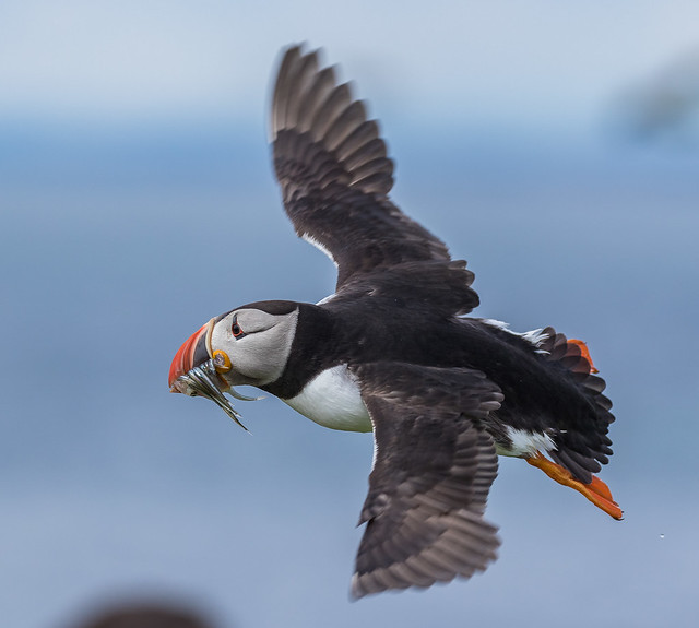 Puffin with just a touch of motion blur in the wing, but the body and head are sharp enough for me.