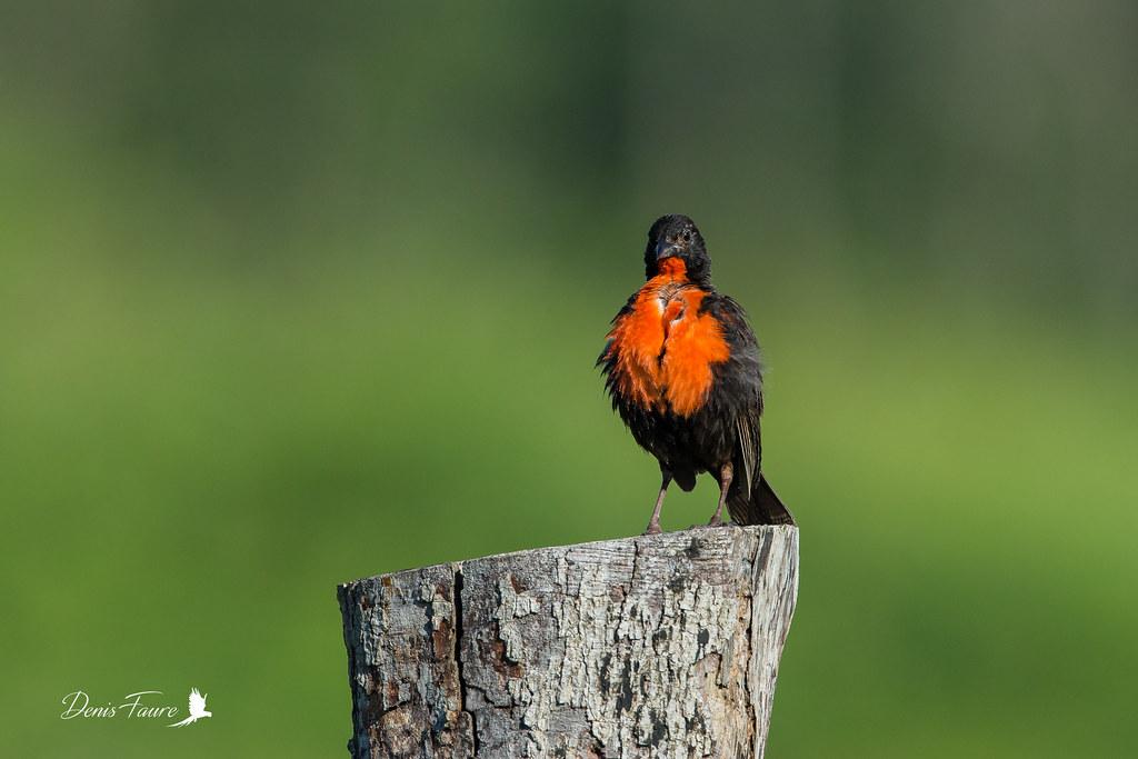 Sturnelle militaire - Sturnella militaris - Red-breasted Blackbird