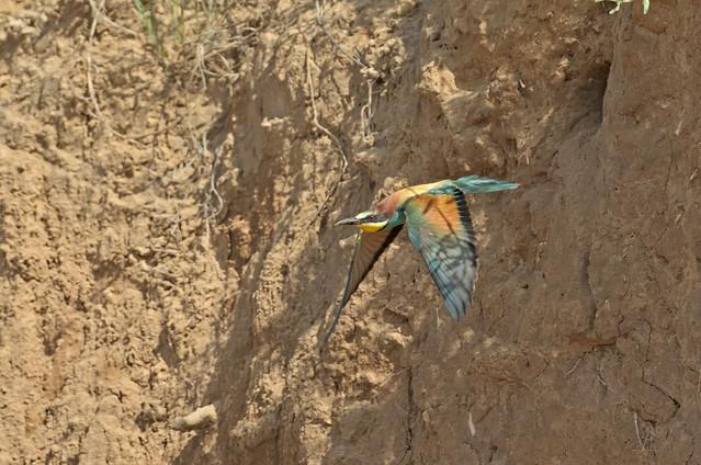 European Bee-eater leaving it's borrow in a sand dune