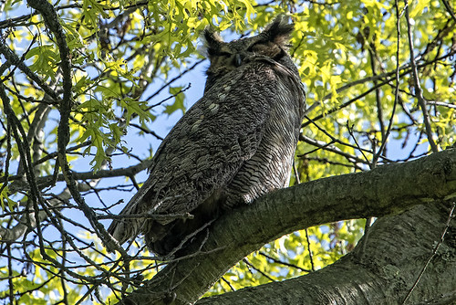 Hempstead Lake S.P.: Great Horned Owl