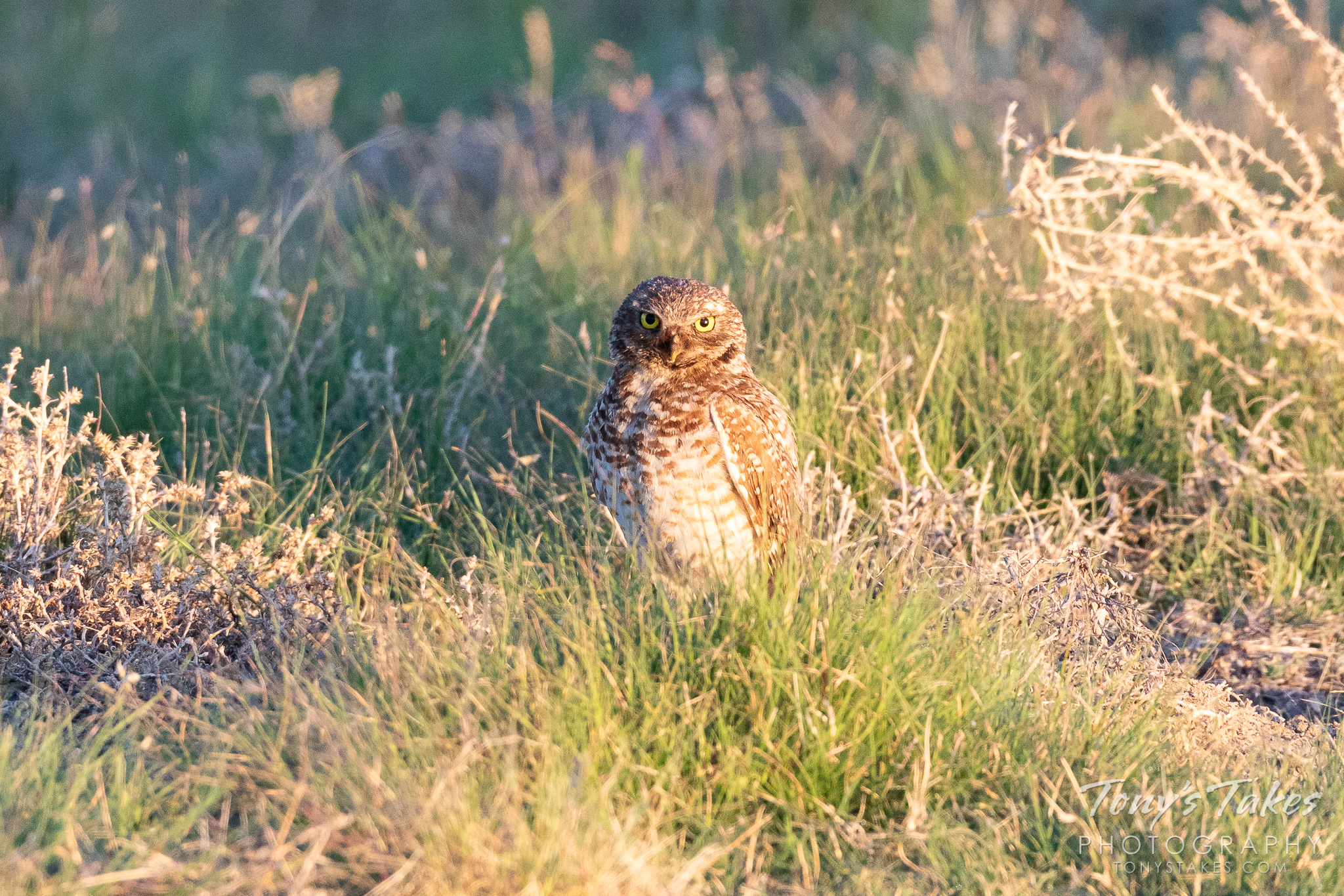 A burrowing owl is wide-eyed not long after sunrise on the Colorado plains. (© Tony's Takes)