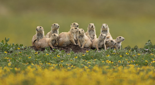 Prairie Dog Family Portrait...Can you find all 13?