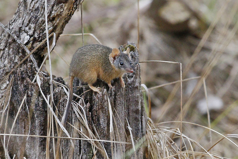 Yellow-footed Antechinus (9457) Sm