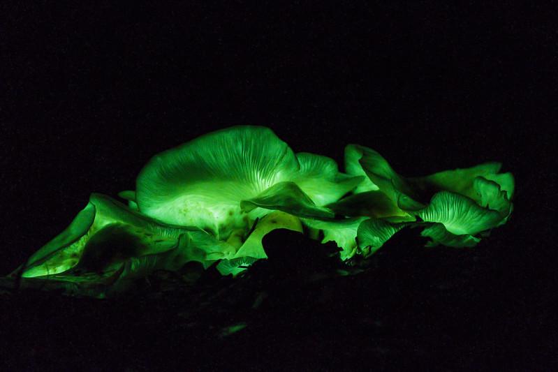 Ghost Fungus (Omphalotus nidiformis)