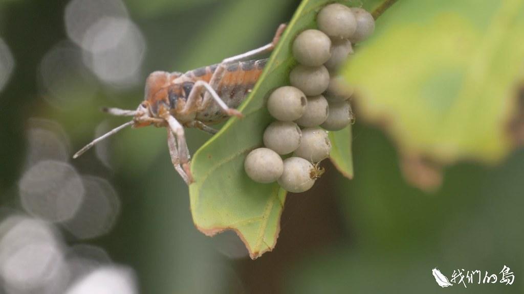 每年夏天大家都期待香甜的荔枝上市,今年因為荔枝椿象四處橫行,荔枝收成可能受到影響。