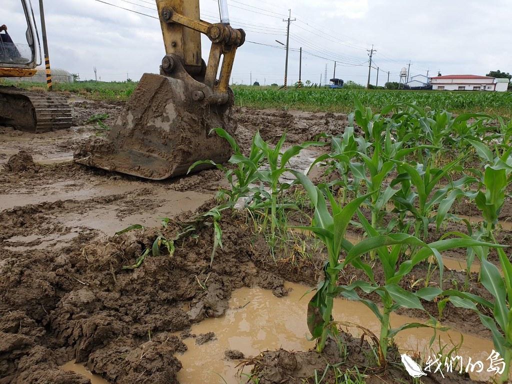 嘉義縣鹿草鄉被秋行軍蟲入侵的玉米田。