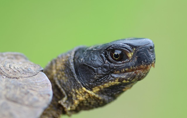 Wood Turtle Head