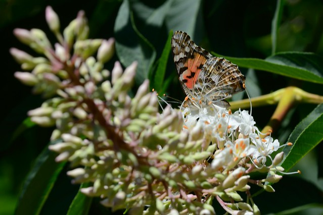 Vanessa cardui (Painted Lady), nectaring on Aesculus californica (California Buckeye)