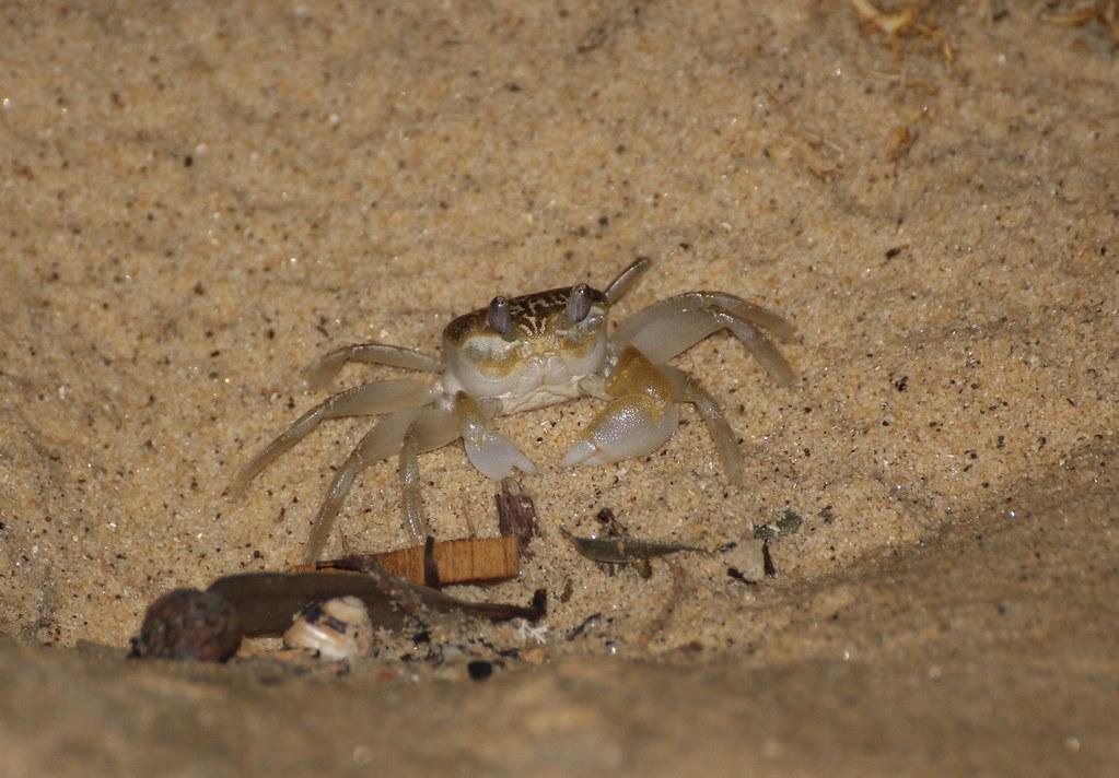Smooth-handed Ghost crab (Ocypode cordimanus)