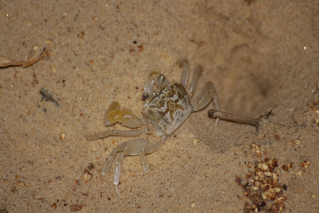 Smooth-handed Ghost crab (Ocypode cordimanus)