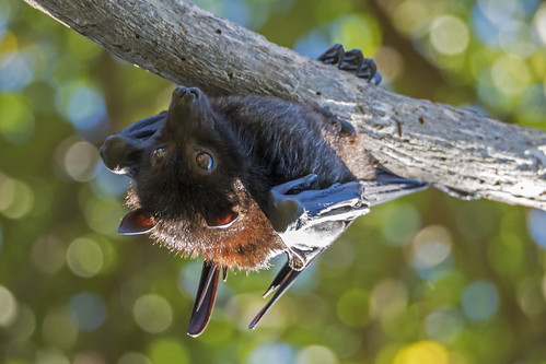 Flying Fox-Fruit Bat (4) | by bidkev1 and son (see profile)