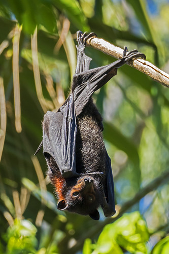 Flying Fox-Fruit Bat (1) | by bidkev1 and son (see profile)