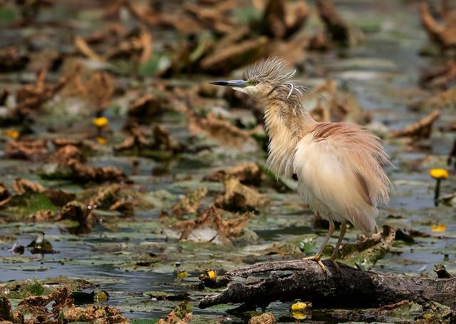 Squacco Heron: Ardeola ralloides