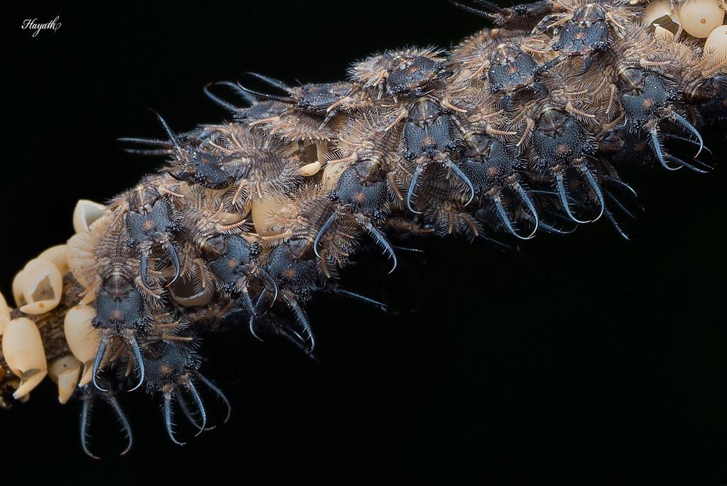 Owlfly larvae