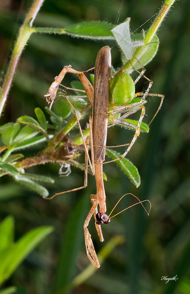 Peucetia with a mantis kill