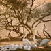 Pelican colony at sunset - Bharatpur