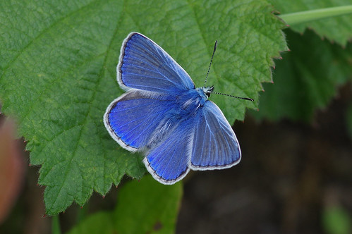 cambridgeshire wild wildlife nature butterfly insect commonblue polyommatusicarus upwood meadows
