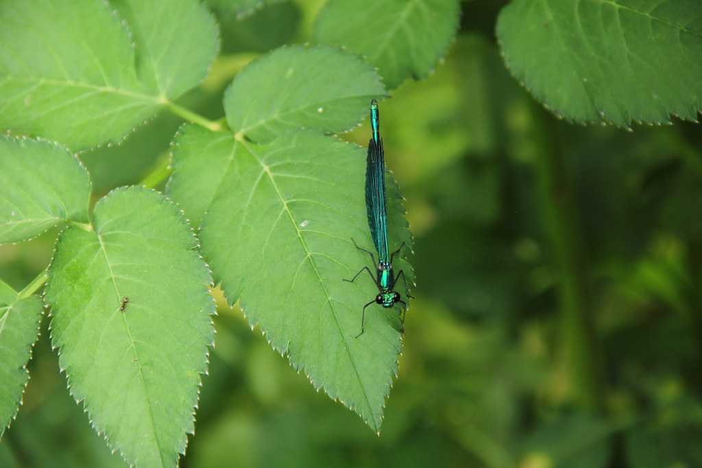 Damsel fly, the Blue Eye, Albania