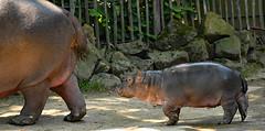Happy Hippo (3)   -   auf Mamas Spuren