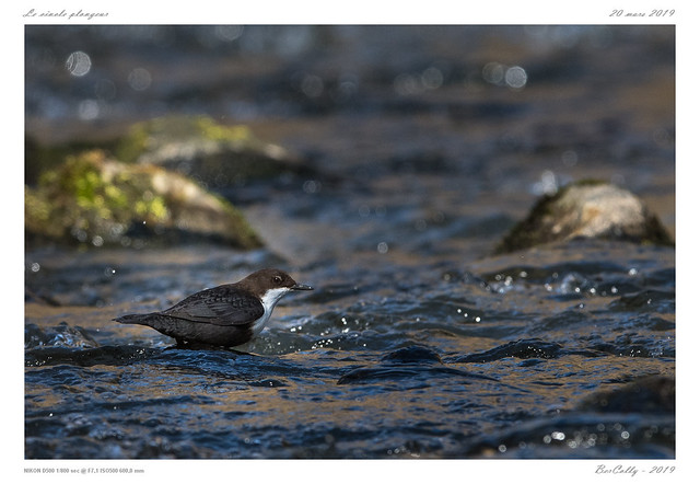 Le cincle | White-throated Dipper