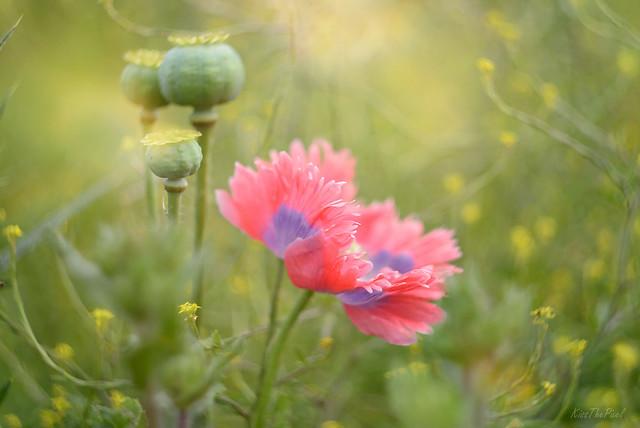Poppy Love...
