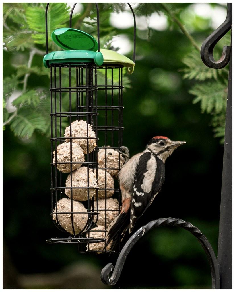 Woodpecker in my garden OMG!!!!