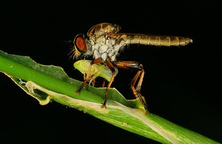 Robber Fly with Leafhopper 4767