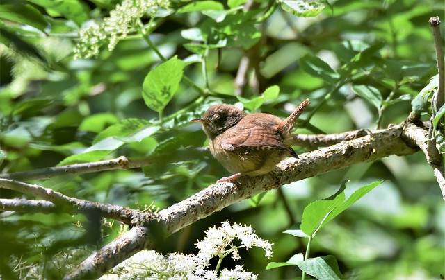 Wren in the sunshine.